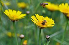 honey bees collecting pollen - stock photo