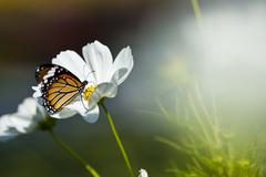 monarch butterfly resting on a white flower - stock photo