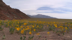 Death Valley Wild Flowers Stock Footage