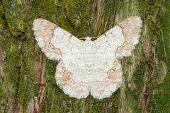 White moth on pine tree background Stock Photos