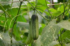 cucumbers growing on a vine - stock photo