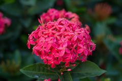 Ixora,red flower close-up west indian jasmine.scientific name ixora chinensis Stock Photos