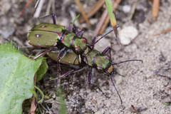 Field Tiger Beetle - mating - stock photo