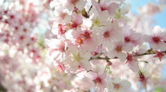 Sakura -Cherry Blossoms- Stock Footage