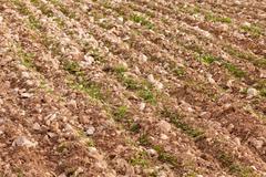Riviä nuorten vihreä köyhien maatalousmaata, jossa on paljon kiviä sekoittaa d Kuvituskuvat