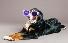 Stock Photo of bernard sennenhund with funky glasses at studio