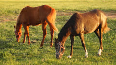 Two horses grazing in a pasture - stock footage