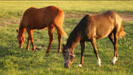 Stock Video Footage of Two horses grazing in a pasture