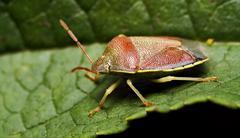 side of wild fly hemiptera - stock photo