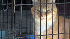 Stock Video Footage of Orange Tabby in Cage