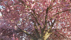 Pink Spring Tree Dolly Stock Footage