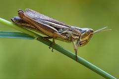 brown  grasshopper   chorthippu - stock photo