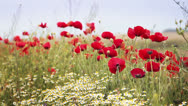 Stock Video Footage of Red poppies in a field