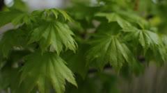 Acer Palmatum Aureum Stock Footage