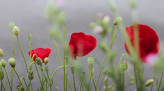 Red poppy flowers against gray background Stock Footage