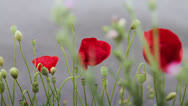 Stock Video Footage of Red poppy flowers against gray background