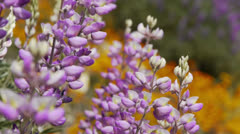 California Wild Flowers Lupines Close Up Stock Footage