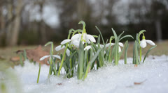 First pring snowdrop snowflake flowers in snow move wind Stock Footage