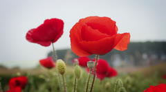 Red poppies in a field - stock footage