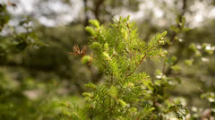 Young Pine Tree Stock Footage