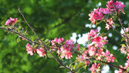 Stock Video Footage of Pink apple blossom
