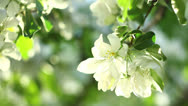 Stock Video Footage of White apple blossom