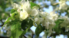 White apple blossom Stock Footage