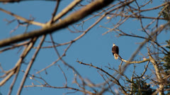 Bald Eagle in tree, flies away Stock Footage