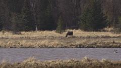 Moose in Alaskan Marsh with Flying Duck Flock Stock Footage