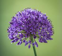 Purple Allium - stock photo