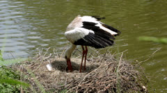 White stork (Ciconia ciconia) in the nest. Stock Footage