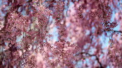 Weeping Cherry Blossoms Stock Footage