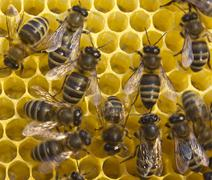 bees build honeycombs - stock photo