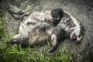 Stock Photo of Dead Badger