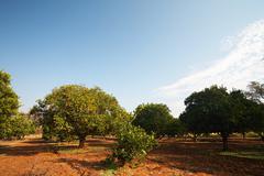 orange fruit orchard - stock photo