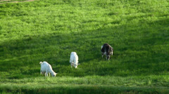 Goats grazing, long shot Stock Footage