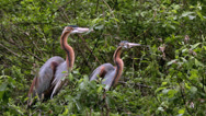 Stock Video Footage of A pair of Purple Herons (Ardea purpurea) in the trees.