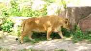 Stock Video Footage of Beautiful lioness