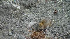 Wild rat Stock Footage