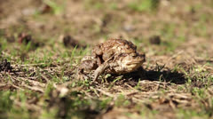 Two frogs - european toad (couple) Stock Footage