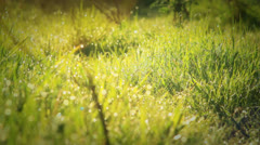 Morning Dew Drops On Green Grass - stock footage