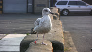 Stock Video Footage of Close up of a gray speckled seagull perched on a stone wall