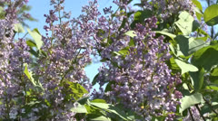 Blossoming bush of a lilac Stock Footage