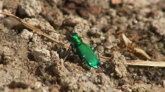 Six-spotted Tiger Beetle (Cicindela sexguttata) 1 Stock Footage