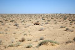 camel in sahara desert - stock photo