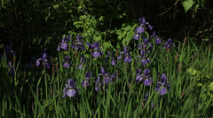 Irises in Spring Stock Footage