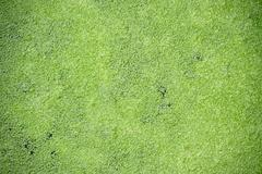 duckweed - stock photo