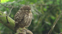 Little owl (athene noctua) perched on branch in forest + turns head Stock Footage