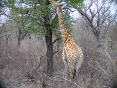 Giraffe in Kruger National Park in South Africa - stock photo