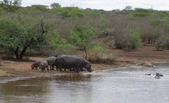 Hippos with young on waterfront in South Africa - stock photo